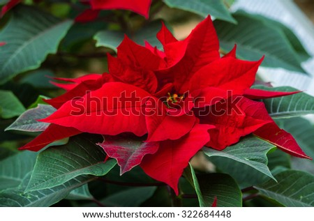 Beautiful red christmas flower poinsettia