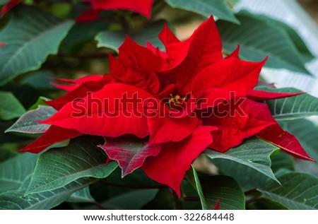 Beautiful red christmas flower poinsettia - stock photo