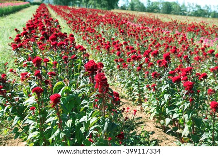 Beautiful red Cockscomb flowers growing on a farm in neat rows - stock photo