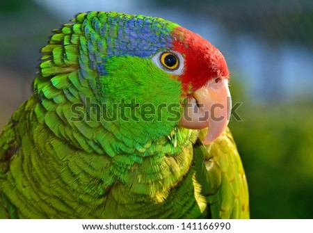 Beautiful Red Crowned Amazon - stock photo