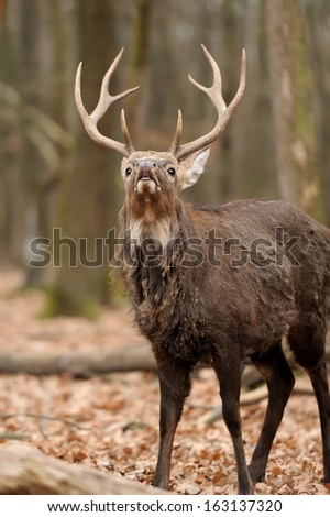 Beautiful Red Deer in forest