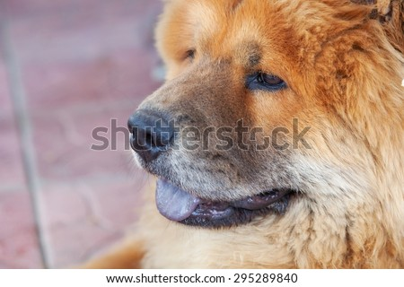 beautiful red dog chow, close-up - stock photo