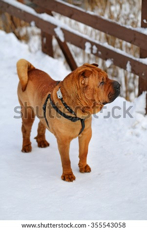 Beautiful red dog stands on snow photographed close up - stock photo