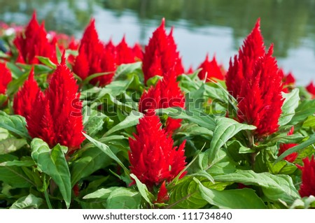 Beautiful red flower in the garden. - stock photo
