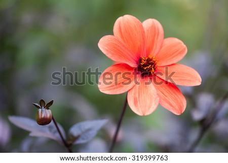 callistephus stock photos, royaltyfree images  vectors, Beautiful flower