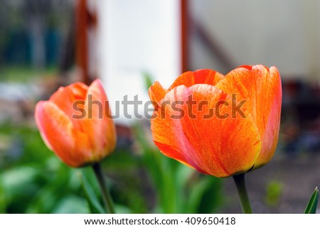 Beautiful red flowers and buds of tulips bloom