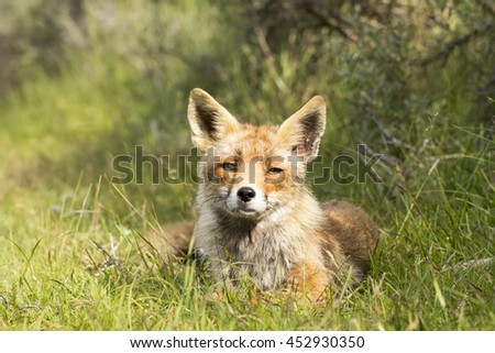 Beautiful Red Fox Lying on the Grass