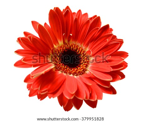 beautiful red gerbera flower isolated on white background - stock photo