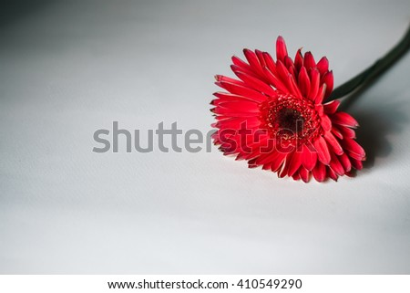 Beautiful red gerbera flower on white background - stock photo