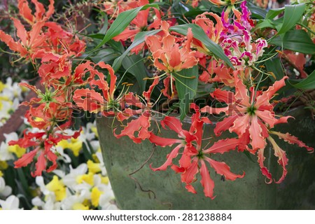 Beautiful red gloriosa flowers. Exotic blossoms in the garden. 