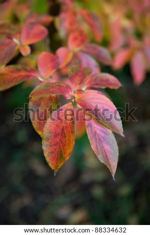 Beautiful red, green and yellow pseudocamillia stewartia tree leaves - stock photo