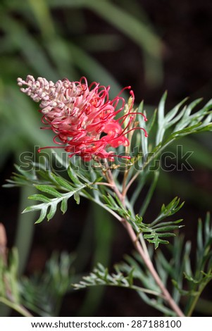 Beautiful red Grevillea flowers surrounded by leaves - stock photo