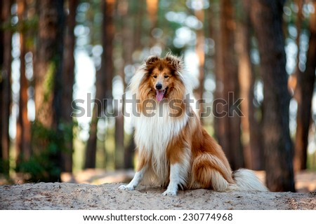 Beautiful red-haired fluffy dog collie sitting on a hill in a forest in the warm light. Dog with his tongue hanging out - stock photo