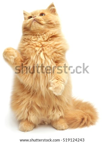 Beautiful red-haired kitten playing paws. Persian cat, isolated on white background