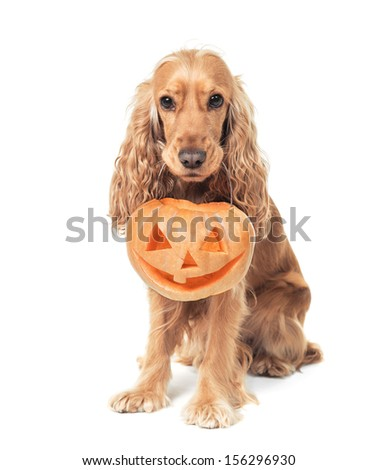 beautiful red-haired spaniel holds jack-o-lantern - stock photo