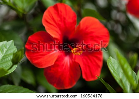 beautiful red hibiscus flower in summer outdoor macro closeup