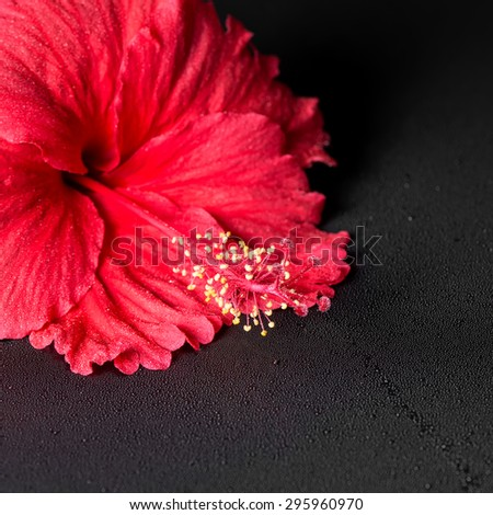 beautiful red hibiscus flower with dew on black background, closeup