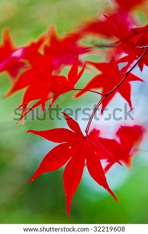 beautiful red Japanese Maple leaves - stock photo