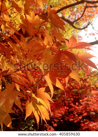 Beautiful red Japanese maple leaves background , Autumn and Winter , Kyoto , Japan , October to December  - stock photo