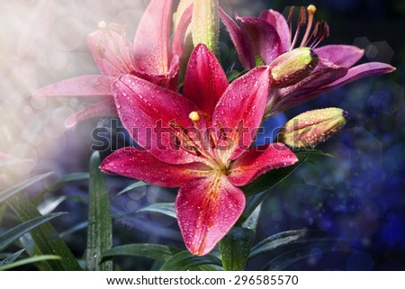 beautiful red lily close-up background wallpaper - stock photo
