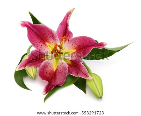 red lilies stock images, royaltyfree images  vectors  shutterstock, Natural flower