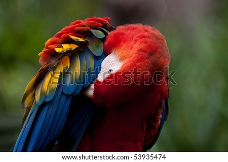 Beautiful Red Macaw with green blurred background.