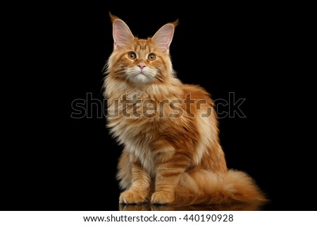 Beautiful Red Maine Coon Cat Sitting with Large Ears and Looking in Camera Isolated on Black Background, Front view - stock photo