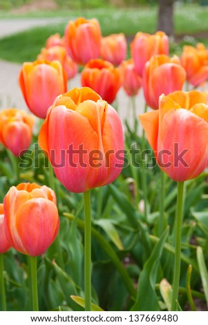 Beautiful red orange tulips in park. - stock photo