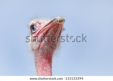 Beautiful red Ostrich with inner eyelid half closed - stock photo