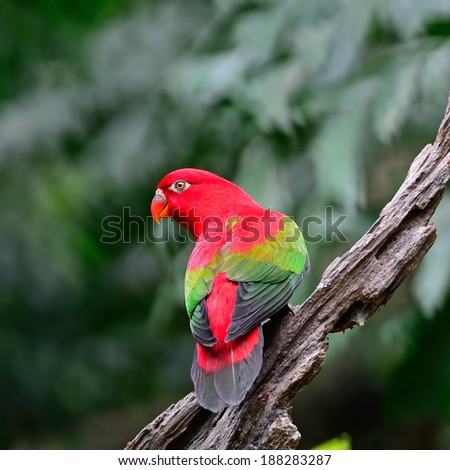 Beautiful red parrot, Chattering Lory (Lorius garrulus), standing on the log, back profile
