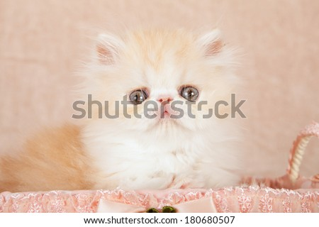 Beautiful red Persian kitten sitting inside frilly peach colored polka dot basket on beige background