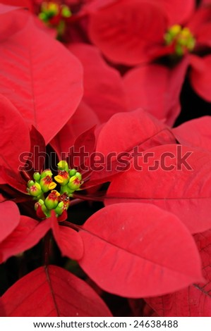 Beautiful red poinsettia flowers background