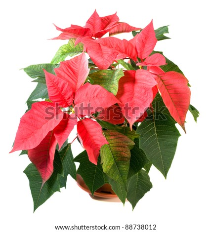 Beautiful red poinsettia  isolated on white with pot shadow. That red plant - symbol of Christmas. Two shots stitch image