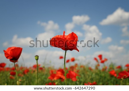 Beautiful red poppies at field