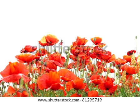 Beautiful red poppies isolated on white background - stock photo