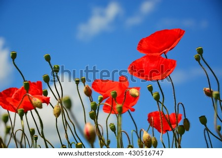 beautiful red poppies on clear sky