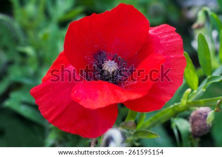 Beautiful red poppy on a green meadow. - stock photo