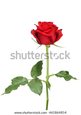 Beautiful red rose and leaves isolated on white background