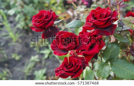 Red Garden Rose Bouquet rose garden stock images, royalty-free images & vectors | shutterstock