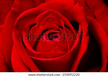 Beautiful red rose close up  - stock photo