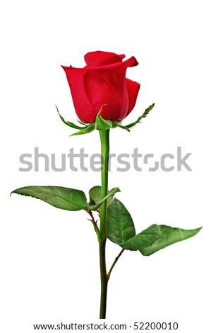 Beautiful red rose close-up - stock photo