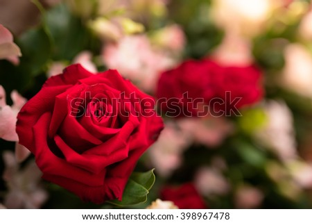 Beautiful red rose flower. - Close up - stock photo
