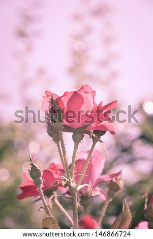 Beautiful red rose flower in a garden in retro filter. selective focus, shallow dof - stock photo