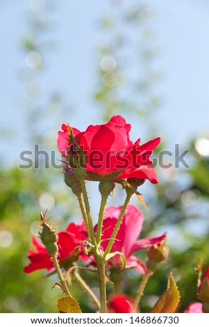 Beautiful red rose flower in a garden. selective focus, shallow dof - stock photo