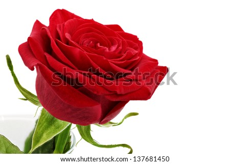 Beautiful red  rose flower. Isolated - stock photo