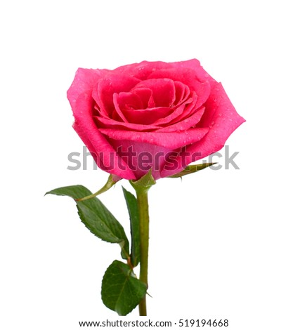 beautiful red rose flower isolated on white background