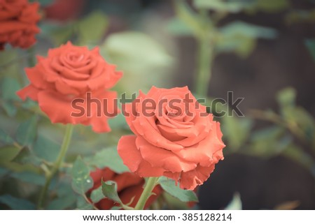 Beautiful red rose flower, Naturally beautiful flowers in the garden , process in vintage style - stock photo