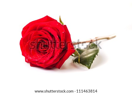 beautiful red rose flower on white background - stock photo