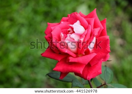 Beautiful red rose flower with nature background, close up of rose, beautiful rose in garden - stock photo