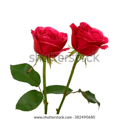 beautiful red rose flowers isolated on white background